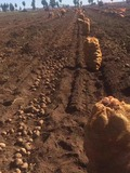 马铃薯主要地下虫害的防治方法