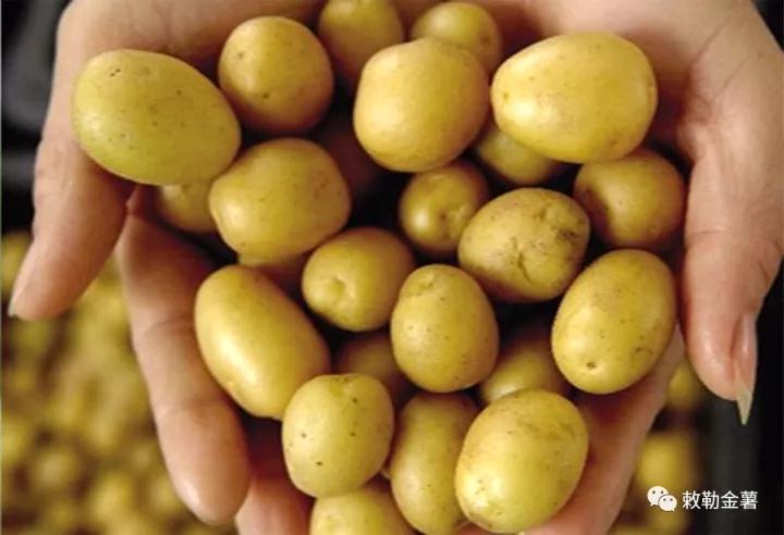 手捧金薯土豆